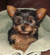 Male Yorkshire Terrier Puppy Sale $700
