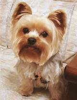 pictures of yorkie poo haircuts